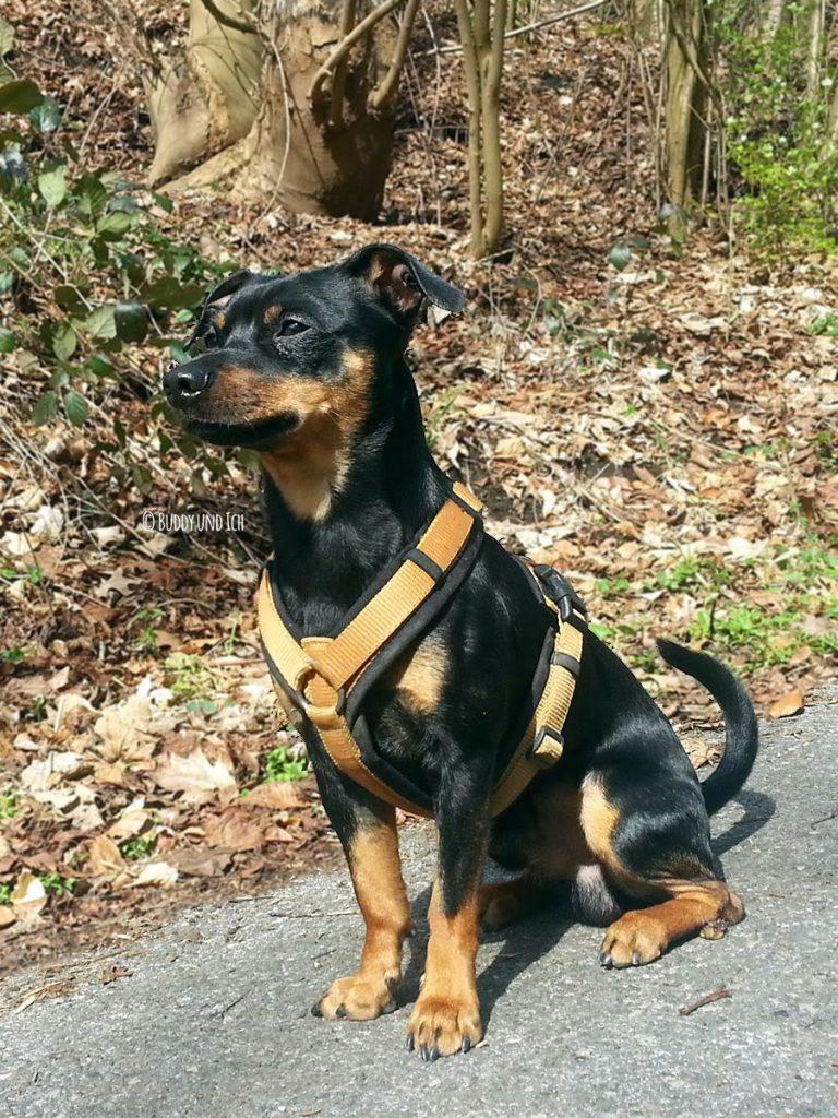 Hundeblog Buddy und Ich; Zwergpinscher Rüde; AnnyX Geschirr