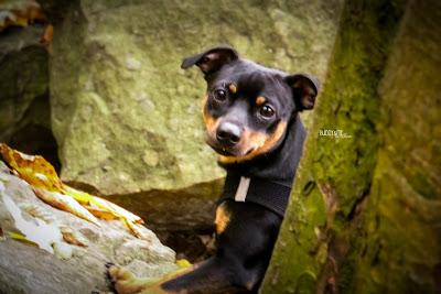 Pinscher Buddy, Drachenfels, 2015, Siebengebirge, Wanderung, Hundewanderung, Herbst