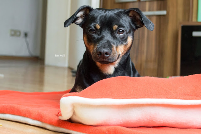Pinscher Buddy, Zwergpinscher, Hundedecke, Kissen, Do it Yourself, handgemacht, selber nähen