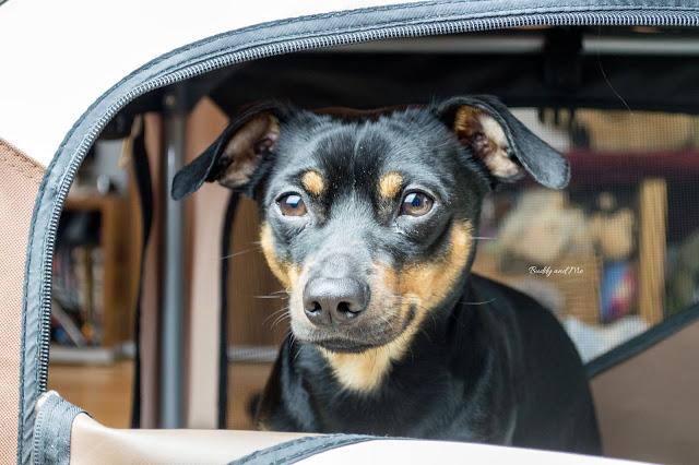 Pinscher Buddy, Hundebox, Kennel, Training, Gewöhnen, Sicherheit, Silvester mit Hund, Urlaub mit Hund
