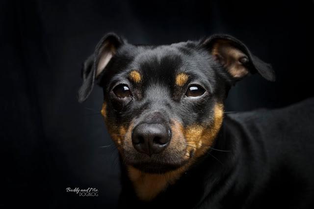 Pinscher Buddy, Zwergpinscher, Rüde, schwarz, dunkel, Hundefotografie, Tipps, Nikon D3200, 18-55mm f3.5-5.6