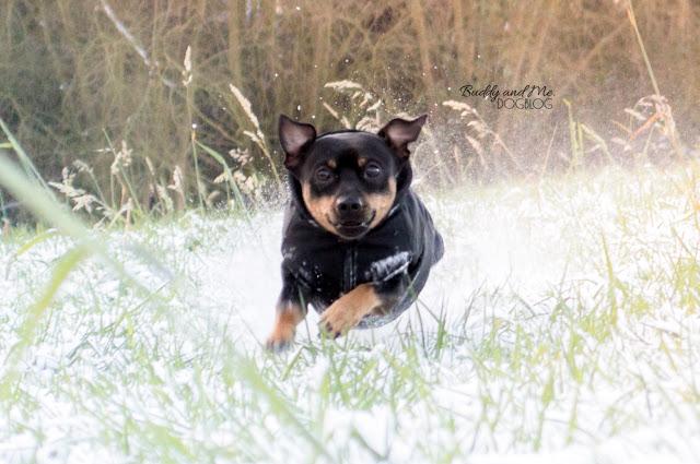 Pinscher Buddy, Zwergpinscher, winterwonderland, hundeblog, ruhrgebiet, schnee, winter, essen schuir, winterzauber, Winterspaziergang mit Hund
