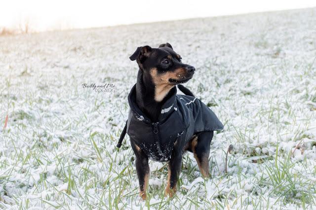 Pinscher Buddy, Zwergpinscher, Rüde, hundemantel, winterwonderland, hundeblog, ruhrgebiet, schnee, winter, essen schuir, winterzauber, Winterspaziergang mit Hund