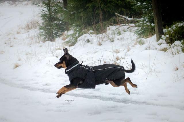 Pinscher Buddy, Hochheide, Winterberg, 2016, Winter, Schnee, Wanderung mit Hund, Winterwanderung, NRW