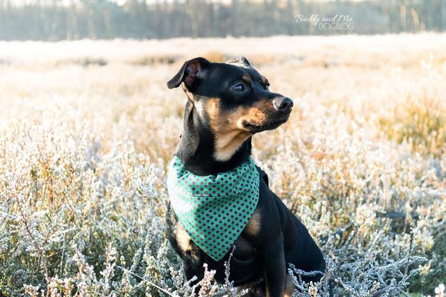 Pinscher Buddy, Miniature Pinscher, Zwergpinscher, Rüde, Leos Hundehalstuch, Haltern, Ausflug mit Hund