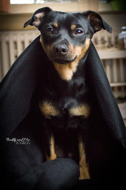 Pinscher Buddy, Zwergpinscher, Miniature Pinscher, Rüde, DIY, nähen, Hundesachen selbermachen, handmade, Kuschelsack, Snugglebag, Hundeschlafsack, Baumwolle, Fleece, einfach, schnell, upcycling, Anleitung