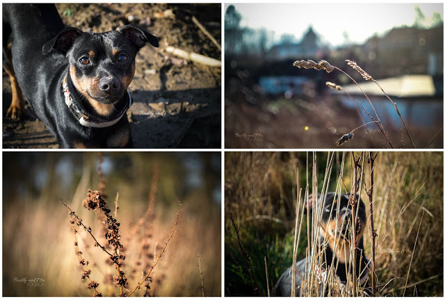 Pinscher Buddy, Zwergpinscher, Rüde, Miniature Pinscher, Dummy, Training, Balldummy, Stadthund, Hund in der Stadt, dreckig, nass, glücklich