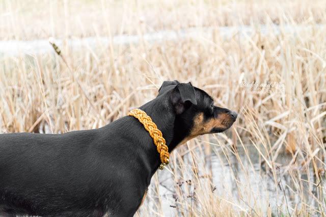Halde Haniel, Bottrop, Ruhrgebiet, Ausflug mit Hund, Pinscher Buddy, Miniature Pinscher, Zwergpinscher, Rüde, Gassi Glamour Halsband