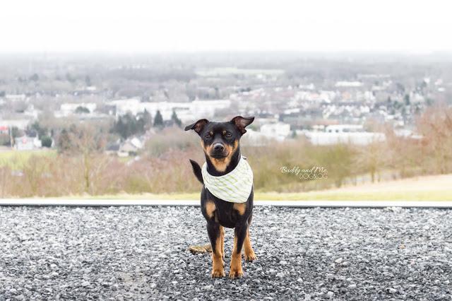 Halde Norddeutschland, Ruhrgebiet, NRW, Ausflug mit Hund, Moers, Neukirchen-Vluyn, Pinscher Buddy, Miniature Pinscher, Zwergpinscher, Rüde, Hundehalstuch, MyCurli Geschirr