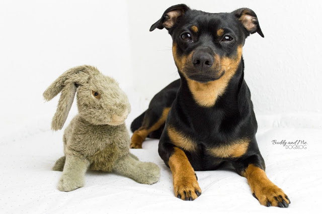 Pinscher Buddy, Miniature Pinscher, Zwergpinscher, Rüde, Jagdverhalten beim Hund, Kaninchen, Hasen, Hetzen, Sichtjäger, Fährten verfolgen