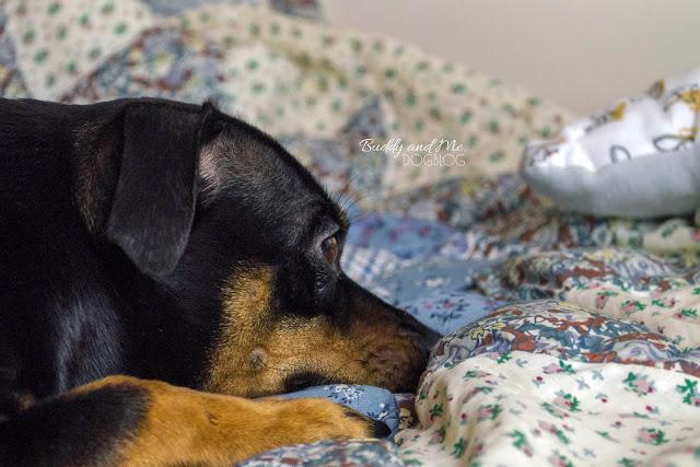 Pinscher Buddy, Zwergpinscher, Rüde, Hundeblog, Hund im Bett, Erziehung