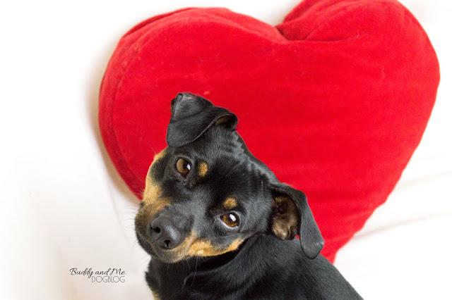Valentinstag, Valentinesday, Pinscher Buddy, Zwergpinscher, Miniature Pinscher, Rüde, Herz, verliebt