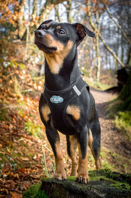 Pinscher Buddy, Zwergpinscher, Miniature Pinscher, Rüde, Hund im Wald, Verhalten, Training, MyCurli Geschirr