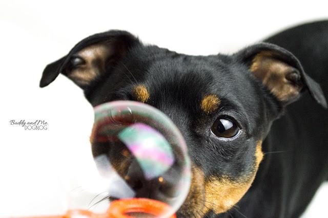 Pinscher Buddy, Zwergpinscher, Rüde, Hundefotografie, Nikon D3200, Nikkor 18-55mm, Seifenblasen fotografieren, Kameraeinstellung