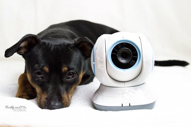 Pinscher Buddy, Zwergpinscher, Rüde, Testbericht, Produkttest, DLink, Eye On Pet Monitor 360, Wlan Kamera, Hund, Alleinbleiben, Überwachung, Kontrolle, Handy, App