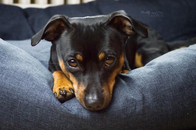 Pinscher Buddy, Zwergpinscher, Miniature Pinscher, Rüde, Körbchen, Hundebett, Hundefotografie, Fotografie, Nikon D3200
