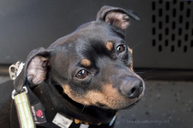 Pinscher Buddy, Zwergpinscher, Rüde, Hund, Hundeblog, Dogblog