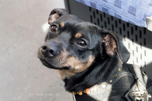 Pinscher Buddy, Hundeblog, Öffentliche Verkehrsmittel, mit Hund, Busfahren, Bus und Bahn, Tipps, Gewöhnung, Trainung, Erfahrungen