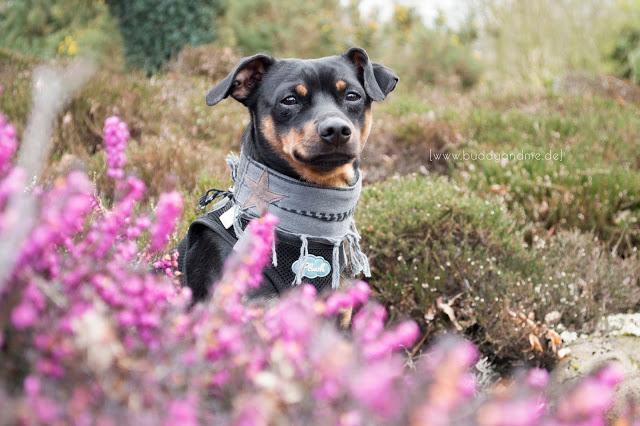 Pinscher Buddy, Zwergpinscher, Rüde, Hundeblog, Dogblog, Hundepali, Vom Heimathafen, Accessoires für Hunde, Hundehalstuch, handgemacht, Designerstück