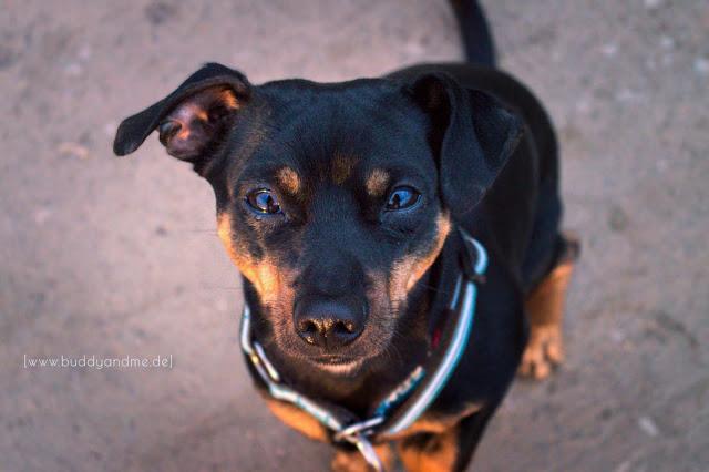 Pinscher Buddy, Zwergpinscher, Rüde, Fotografie, Hundeblog