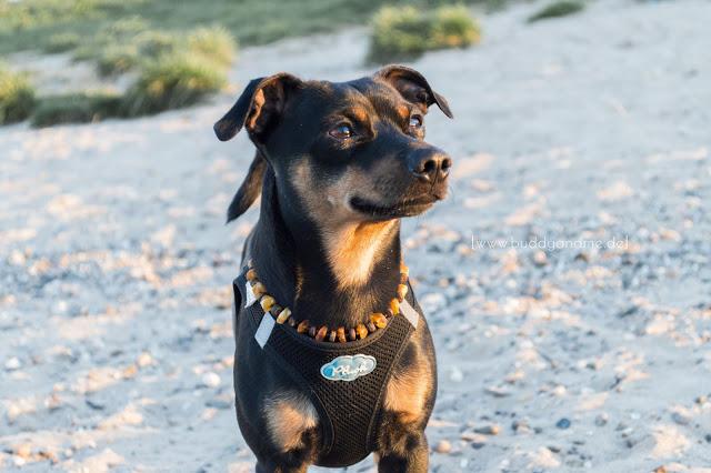 Pinscher Buddy, Zwergpinscher, Rüde, Hundeblog, Dogblog, Rheinwiesen, Düsseldorf, Hundestrand, Fotografie, Nikon D3200, Sonnenuntergang, Strand, Rhein