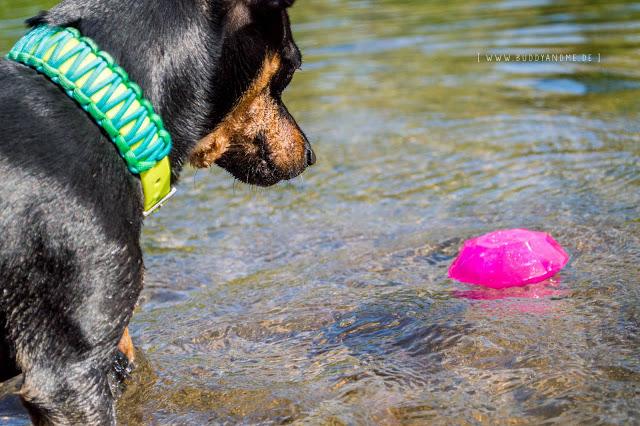 Pinscher Buddy, Zwergpinscher, Rüde, Blogdog, Hundeblog, Dogblogger, Ruhr, Ruhrgebiet mit Hund, Kettwig, Ruhraue, Hundewiese, Ruhrpott, Schwimmen, Wasser, Sommer