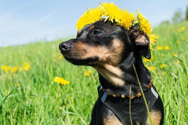 Pinscher Buddy, Zwergpinscher, Rüde, Blogdog, Hundeblog, Dogblog, Fotografie, Hund, Löwenzahn, Sommer, Wiese, Frühling, Flowerpower