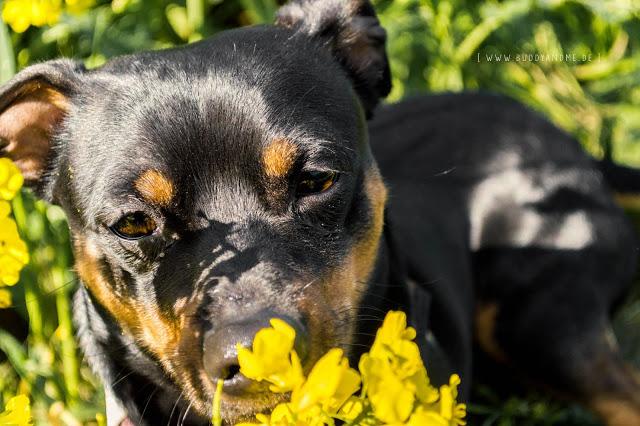 Pinscher Buddy, Zwergpinscher, Rüde, Hundeblog, Dogblog, Sommer, Essen, Ruhrgebiet, unterwegs mit Hund, Spaziergang, Gassi, Kettwig, Mülheim, Mintard, Raps, Rapsfeld