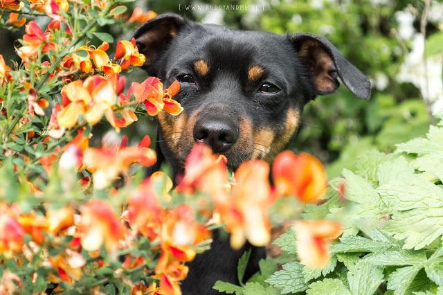 Zwergpinscher, Rüde, Hund, Hundeblog, Dogblog, Garten, Frühjahr, Mai, Blumen, Natur, Farben, bunt, Nikon, Hundefotografie