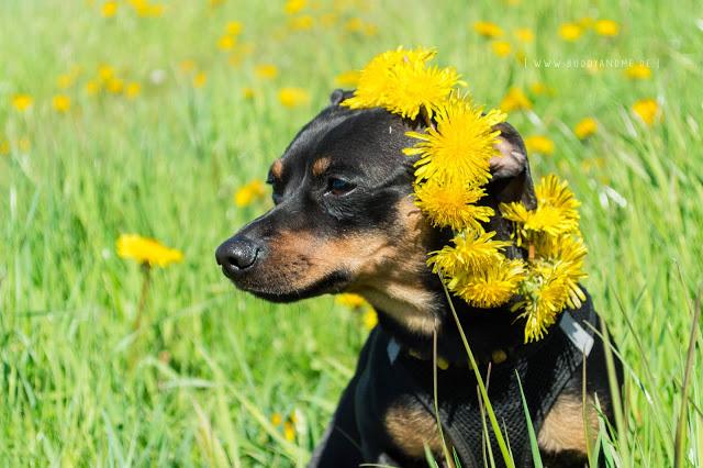 Pinscher Buddy, Zwergpinscher, Rüde, Blogdog, Hundeblog, Dogblog, Fotografie, Hund, Löwenzahn, Sommer, Wiese, Frühling, Flowerpower, Glück, Glücksmomente, Entschleunigung