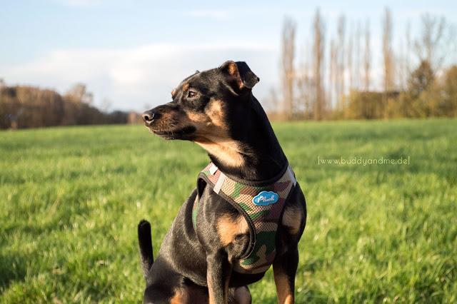 Pinscher Buddy, Zwergpinscher, Rüde, Hundeblog, Dogblog, Ruhrgebiet, NRW, Spaziergang mit Hund, Mülheim an der Ruhr, Hundewiese, Natur, Naturschutzgebiet