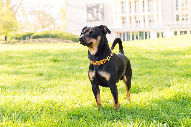 Pinscher Buddy, Hundeblog, Dogblog, Produkt, Test, Halsband, Hund, Gassi Glamour, handgefertigt, handgemacht, individuell, Leder, modern