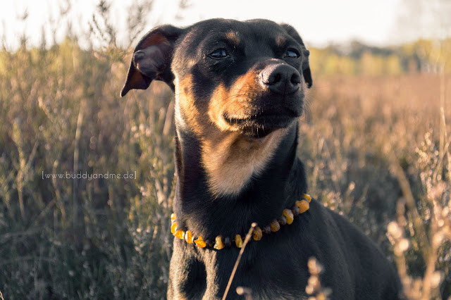 Pinscher Buddy, Zwergpinscher, Blogdog, Hund, Hundeblog, Dogblog, Testbericht, Produkttest, Natura Animale, Bernsteinkette für Hunde, Kokosperlen, natürlicher Zeckenschutz, Zeckenabwehr für Hunde, naturbelassener Bernstein