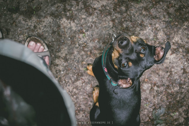 Pinscher Buddy, Hundeblog, Dogblog, Zwergpinscher, kleine Hunde, kleine Rassen, Erziehung, Erfahrungen, Unterschiede, Suchtrupp Halsband