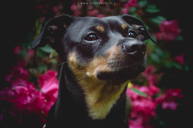 Pinscher Buddy, Zwergpinscher, Rüde, Hundeblog, Dogblog, Hund, Hundefotografie, Nikon, D3200, Matt, Matte Effect, Schwarz, Pink, Grün