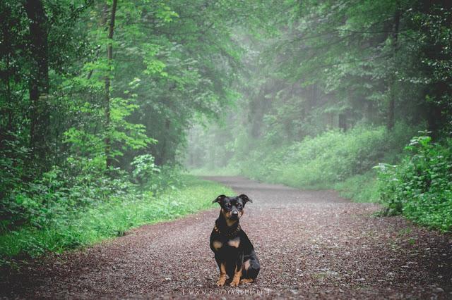 Pinscher Buddy, Buddy&Me, Hundeblog, Dogblog, Zwergpinscher, Rüde, Essen, NRW, Stadtwald, Wald, Nebel, Dunst, Sommer, Luftfeuchtigkeit, verwunschen, märchenhaft