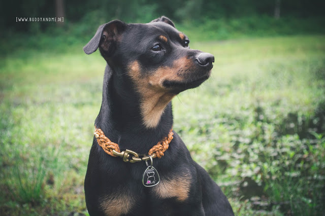 Pinscher Buddy, Zwergpinscher, Buddy and Me, Hundeblog, Dogblog, Produkttest, Produktvorstellung, Erfahrungen, Petfindu Hundemarke, Sicherheit, Abenteuer