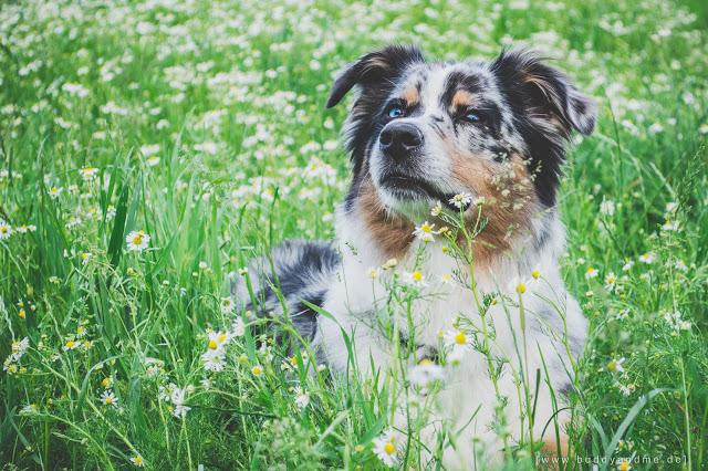BUDDY&ME, Hundeblog, Dogblog, Australian Shepherd, Aussie, Indianermächen Emmely, blaue Augen, Blue Merle