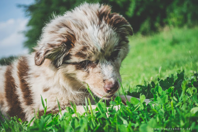 BUDDY&ME, Hundeblog, Dogblog, Australian Shepherd, Welpe, Aussie, Hazel, Wildfang, blaue Augen, Red Merle