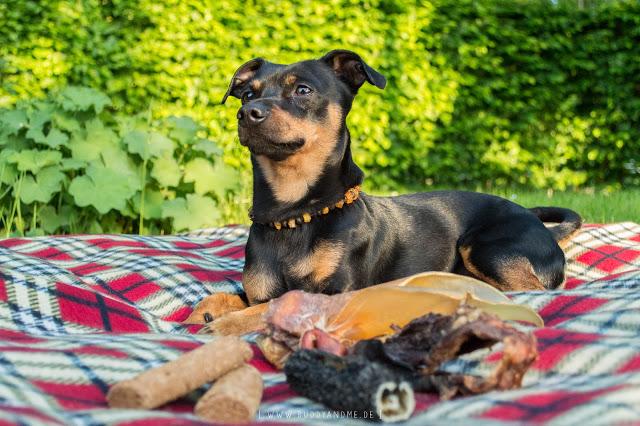 Pinscher Buddy, Buddy and Me, Hundeblog, Dogblog, Picknick, Camping, Draußen, Essen, Futter, Kauartikel