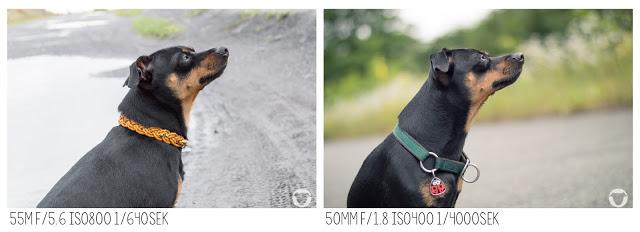 Pinscher Buddy, Buddy and Me, Hundeblog, Dogblog, Hundefotografie, Portrait, Objektiv, Nikon D3200, Nikkor, 50mm 1.8G, 18-55mm 3.5-5.6G, Tipps, Empfehlung, Festbrennweite