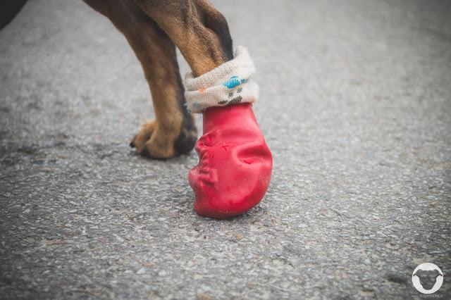 Buddy and Me, Pinscher Buddy, Hundeblog, Dogblog, PAWZ Hundeschuh, Schutz, Verletzung, Pfote, Schnittwunde