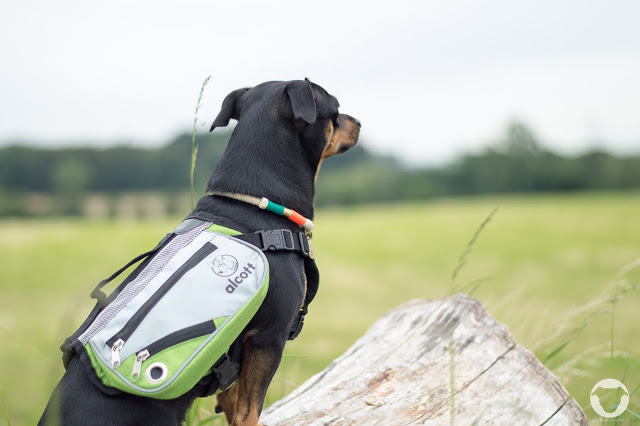 Pinscher Buddy, Buddy and Me, Hundeblog, Dogblog, Produkttest, Erfahrungen, Alcott Adventures, Hunderucksack, Explorer Abenteuer Rucksack, Wandern mit Hund, Tipp, Hundezubehör, Test