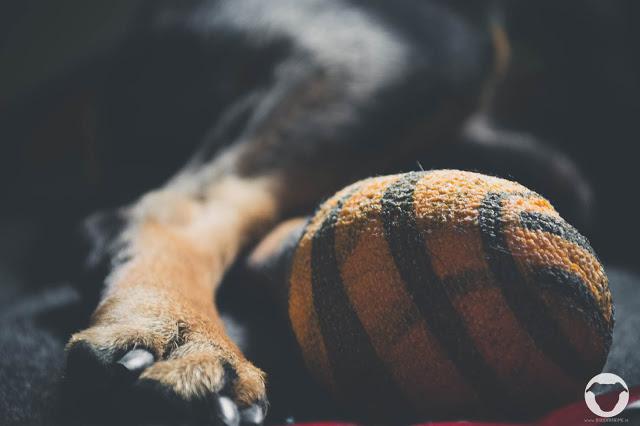 Buddy and Me, Hundeblog, Doglog, Pinscher Buddy, Verband, Pfote, Schnittwunde, Wundversorgung, Tiger, Animalprint, Schurenbachhalde, Essen, Altenessen, Ruhrgebiet, Hundeauslauf, Freilauf, Glasscherben, Metalltreppe