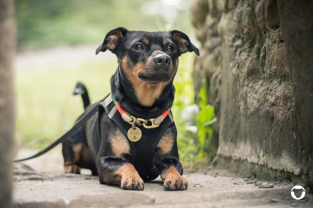 Pinscher Buddy, Buddy and Me, Hundeblog, Dogblog, Ausflug mit Hund, Spaziergang, Ruhrgebiet, NRW, Bergbau, Muttental, Witten, Burg Hardenstein, Ruine, Ruhr, Wandern mit Hund, Gassi, Regen