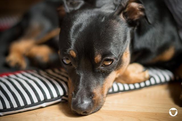 Pinscher Buddy, Zwergpinscher, Rüde, Buddy and Me, Hundeblog, Dogblog, Kastration, Kastrationschip, Erziehung, Unterordnung, Gegenargumente, unkastriert