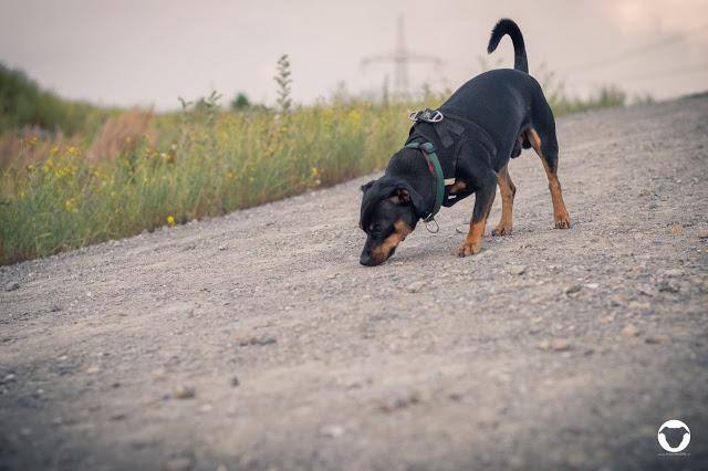 Pinscher Buddy, Buddy and Me, Hundeblog, Dogblog, Zwergpinscher, Rüde, Kastration, Kastrationschip, Hormone, Leben ohne Kastration, Erziehung, chemische Kastration, Erfahrungen