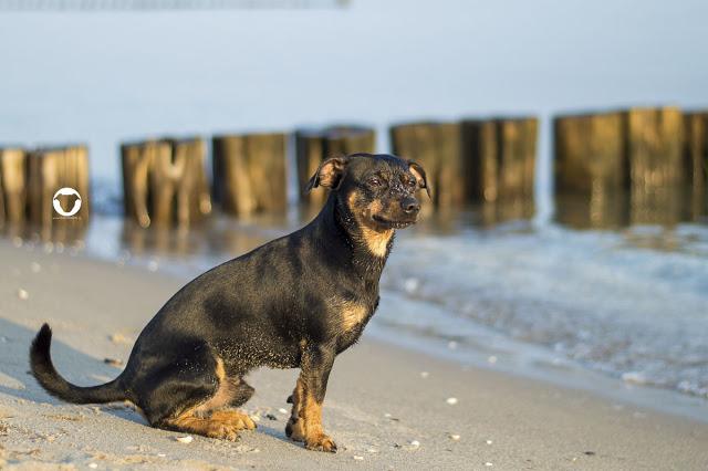 Pinscher Buddy, Buddy and Me, Hundeblog, Dogblog, Hundemodel, Hundefotografie, Urlaub mit Hund, Ferien, Zingst, Darß, Strand, Meer, Hundestrand, September, Nikon D3200, Ostsee