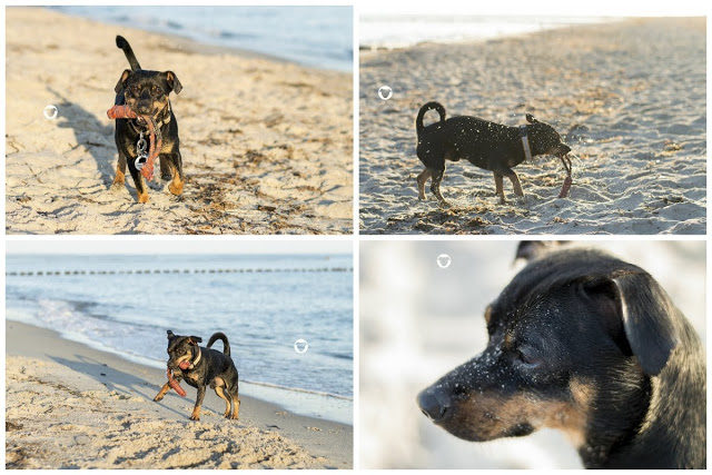 Pinscher Buddy, Buddy and Me, Hundeblog, Dogblog, Hundefotografie, Urlaub mit Hund, Ferien, Zingst, Darß, Strand, Meer, Hundestrand, September, Nikon D3200, Ostsee
