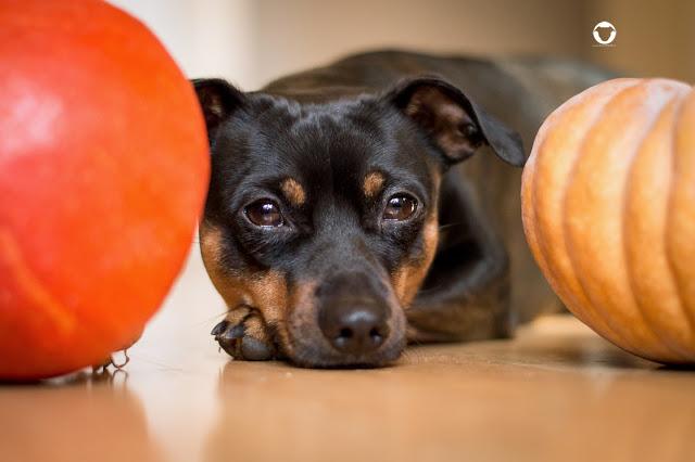 Pinscher Buddy, Zwergpinscher, Buddy and Me, Hundeblog, Dogblog, Rezepte für Hund und Mensch, Herbst, Gemüse, Kürbis, Barfen, Rohfütterung, Tipp, Idee, Erfahrungen, Gemüsemischung, Hokkaido, Muskat